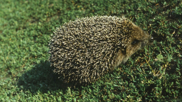 Hedgehog in Voronezh Zoo cannot fall asleep due to warm winter