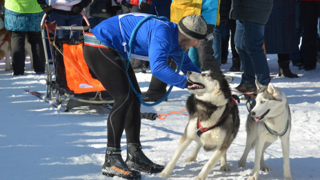 All colors of husky. Sled dog competitions held in Voronezh