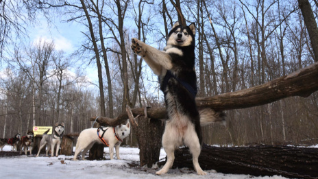 Husky dance. How Voronezh develops sled dog racing