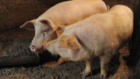 Voronezh Region enters top-3 of leaders among subjects of Russian Federation in pork production