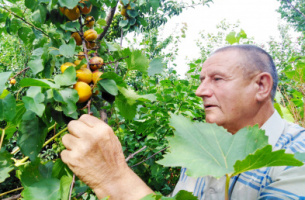 'Creative process'. Voronezh Region resident develops new varieties of fruit trees