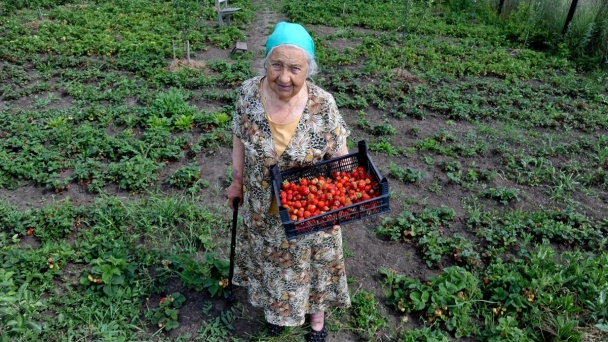 Grandmother's strawberry. 85-year-old gardener is looking for a successor in Voronezh